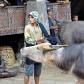 Buffle sur le point d'être sacrifié lors d'une cérémonie funéraire Toraja
