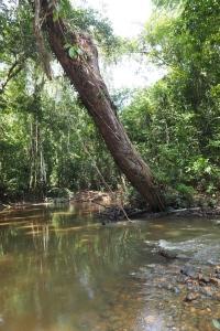 Dans la forêt tropicale du Taman Negara à Merapoh en Malaisie