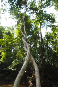 Lianes dans la forêt tropicale du Taman Negara à Merapoh en Malaisie